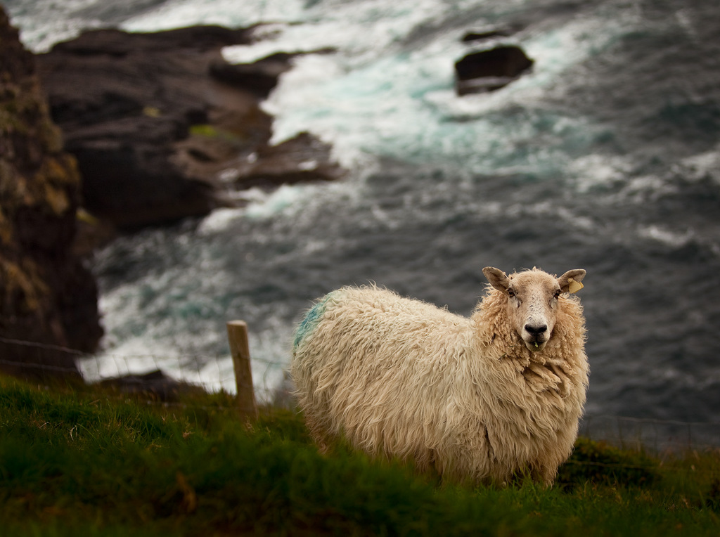 Dingle Sheep 1